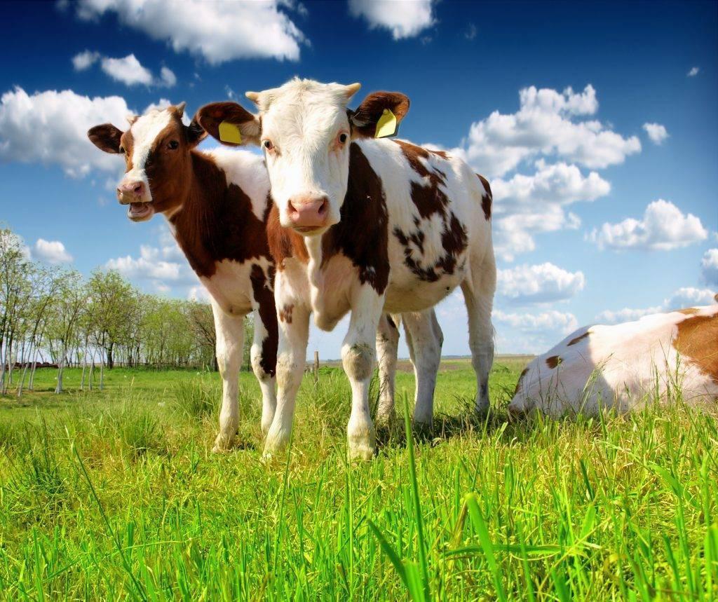 Вес теленка по месяцам: как кормить