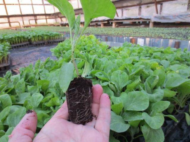 Подкормка баклажанов в теплице для хорошего урожая
