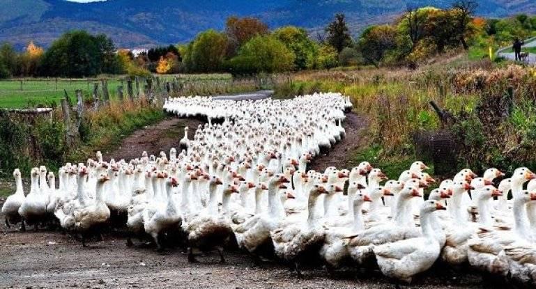 Мини гусиная ферма - как заработать миллион на разведение гусей (2019) — с чего начать и сколько можно заработать - 698 идей для открытия бизнеса