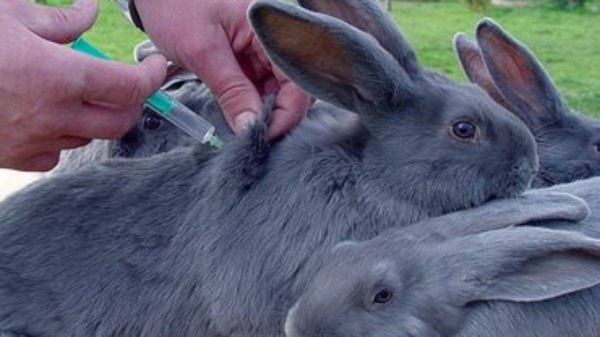 Вакцинация кроликов: прививки и их сроки