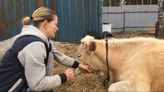 Что делать, если у теленка не работает желудок: методы лечения, народные средства, рекомендации по профилактике