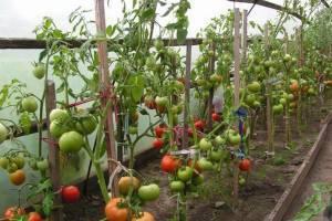 Как подвязывать помидоры в теплице из поликарбоната правильно - лучшие способы, схема фото, видео