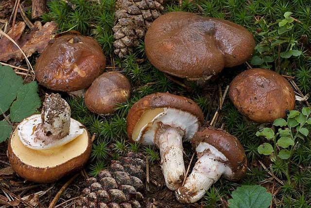 Маслёнок — описание, виды, где растут и когда собирать съедобный гриб с маслянистой шляпкой