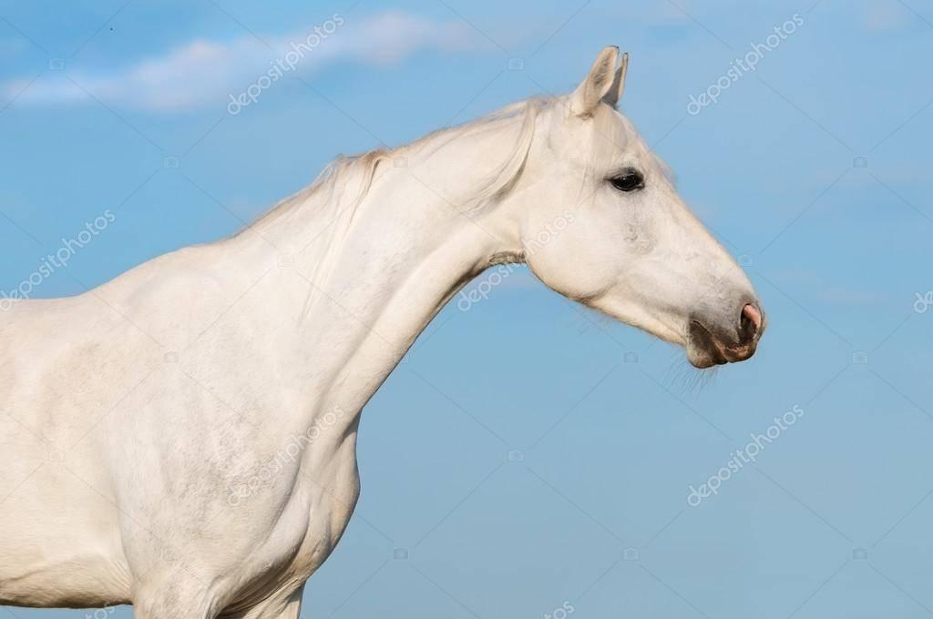 Рысистые породы лошадей