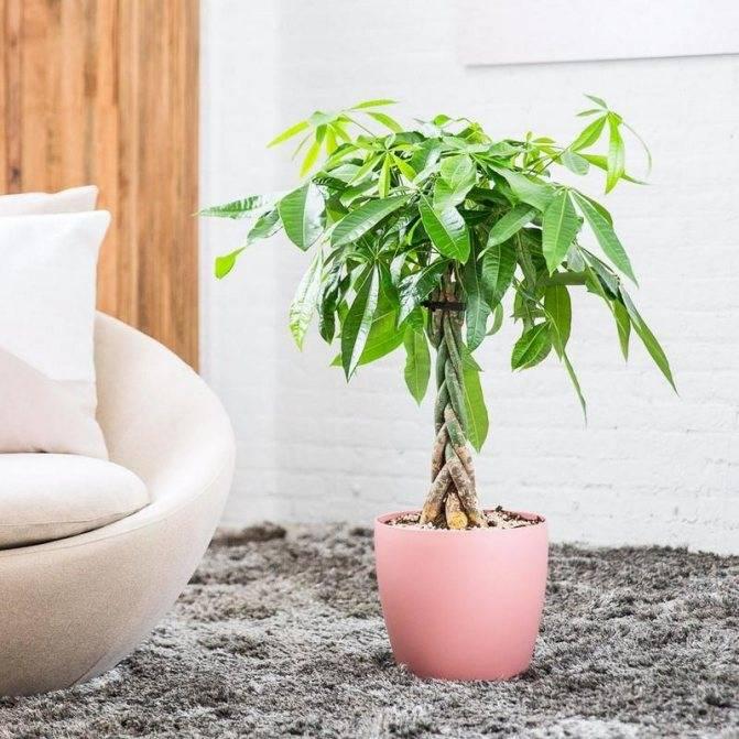 Пахира: все нюансы ухода за растением в домашних условиях - огород, сад, балкон - медиаплатформа миртесен