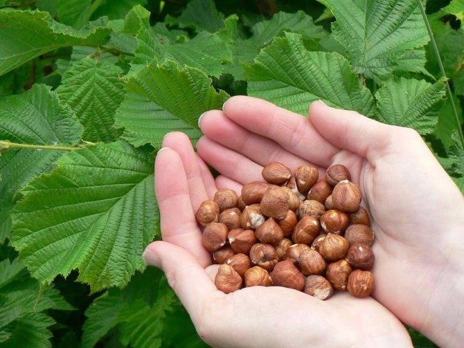 Как сажать и ухаживать за фундуком. выращиваем орех фундук в саду