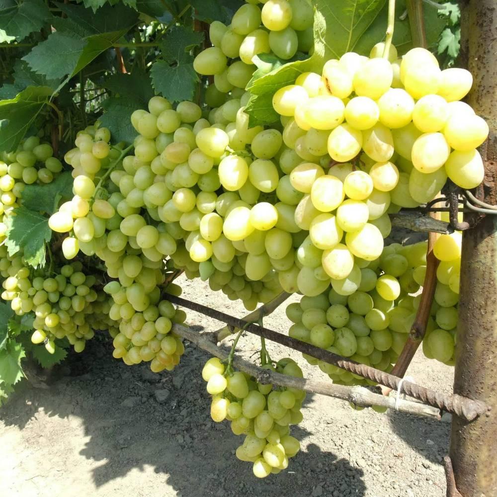 Виноград настя: описание сорта, фото и отзывы, уход