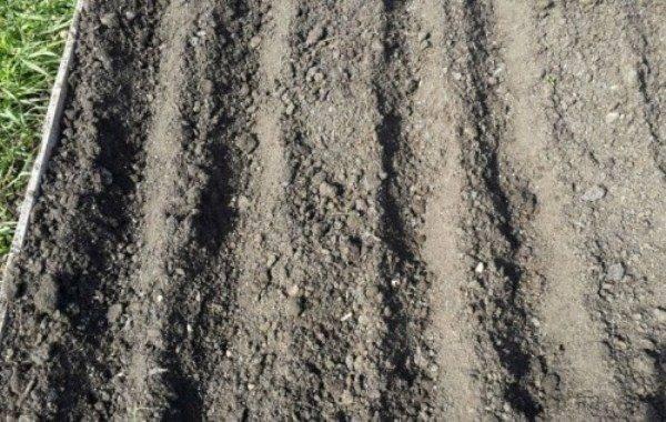 Как выращивать лук «чернушка» из семян