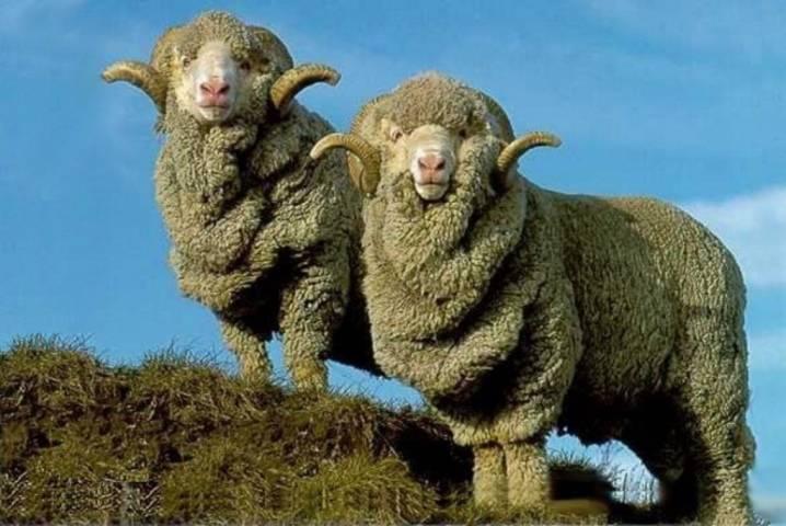Порода овец советский меринос, тонкорунная ставропольская овца