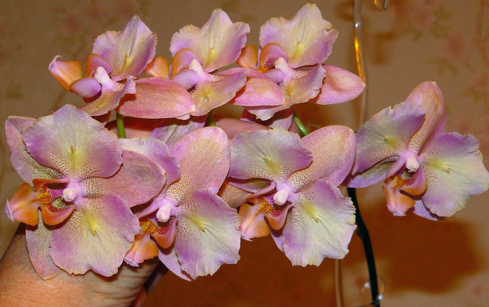 Фаленопсис нарбонна: все о сорте орхидеи с фото и описанием бутонов, а также уход в домашних условиях