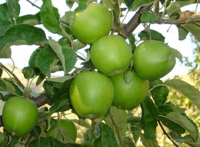 Сорта яблок: лучшие красные, желтые и зеленые виды