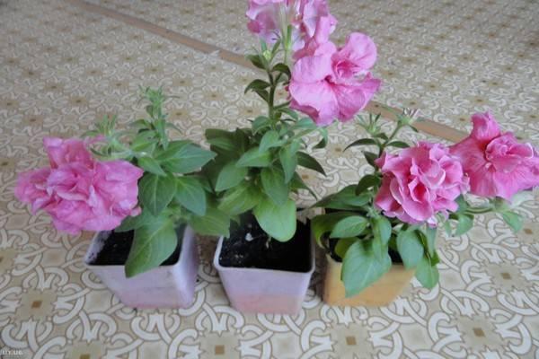 Вегетативная петунья - лучшие сорта с описанием и фото