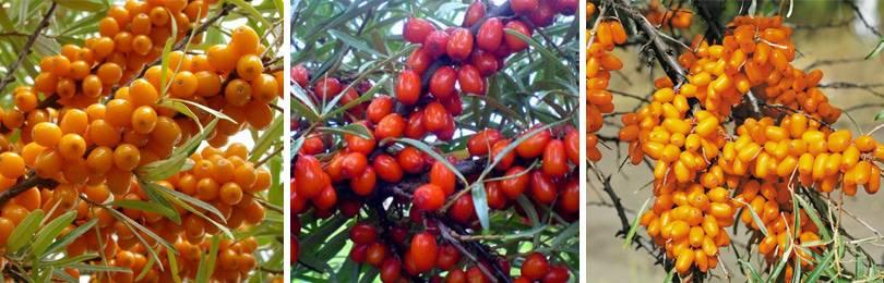 Облепиха и другие из семейства лоховые (elaegnaceae)