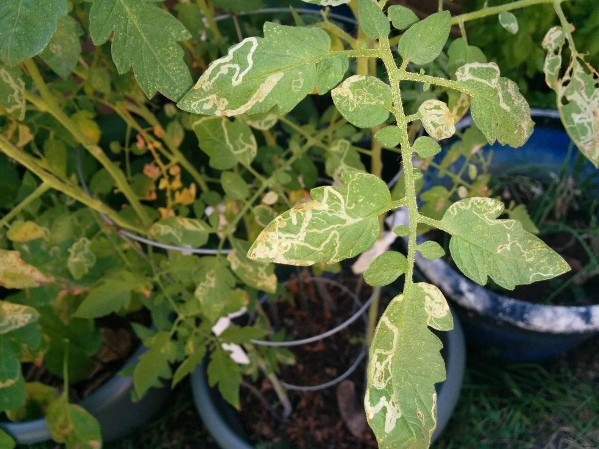 Помидоры желтеют листья у рассады:- причины, почему и что делать
