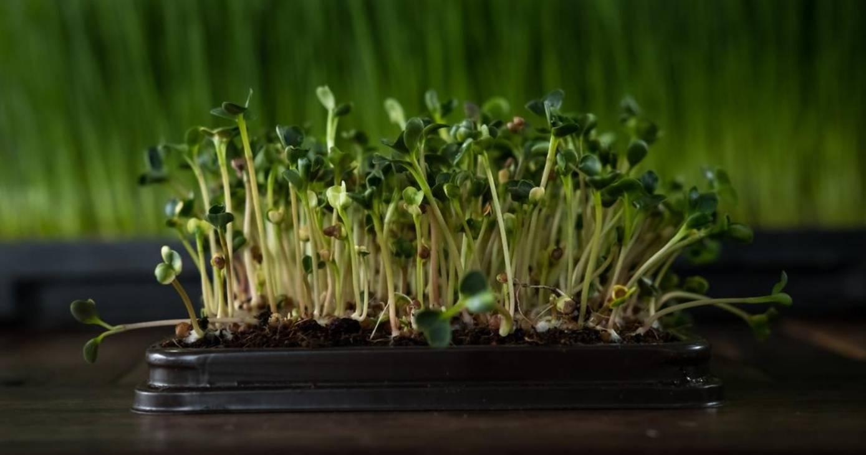 Капуста брокколи - посадка и выращивание