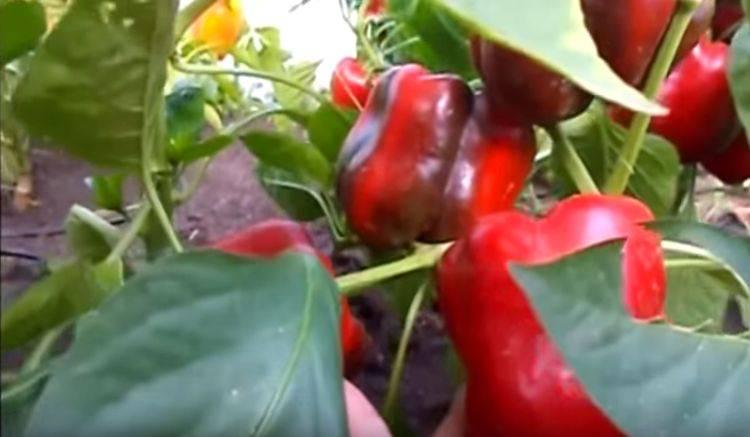 Перец красный бык: описание сорта, фото, отзывы, урожайность