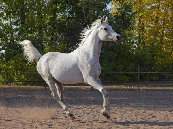Виды лошадиного галопа