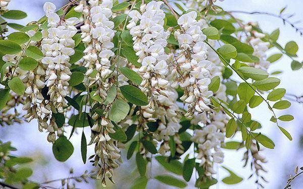 Цветок акация: фото, названия и описание видов и разновидностей растения, выращивание в домашних условиях