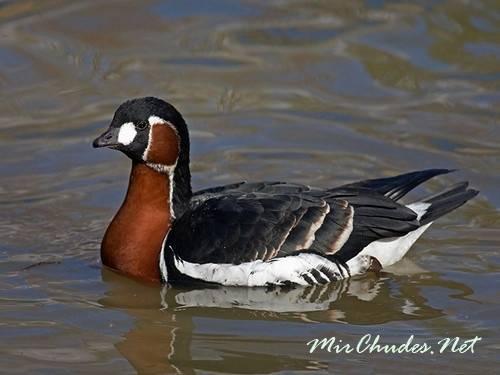 Дикие гуси: внешний вид водоплавающей птицы и среда обитания, разновидности и характеристики