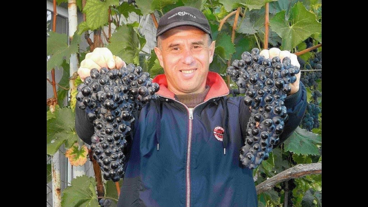 Виноград шахтер, описание сорта и его использование