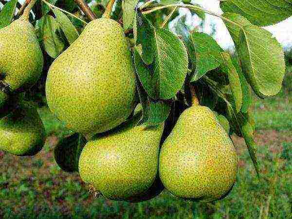 Груша - 121 фото самых отборных сортов плодовых деревьев