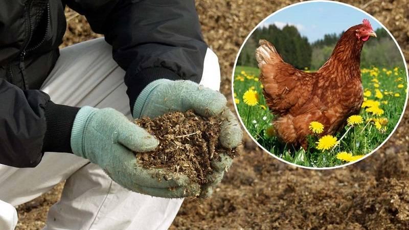Как подкормить огурцы куриным пометом: особенности внесения удобрения, сроки внесения