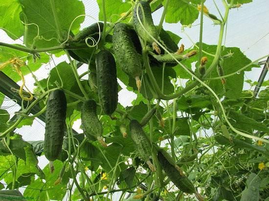 Лучшие удобрения для подкормки огурцов летом в теплице и открытом грунте