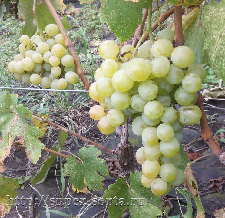 Сорт винограда сенсация: описание, характеристики, выращивание и уход