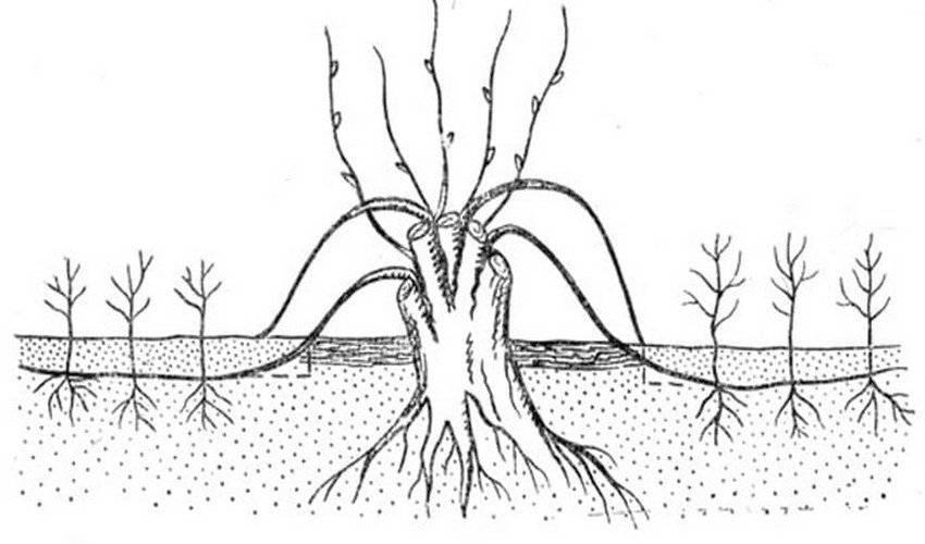Размножение груши черенками осенью