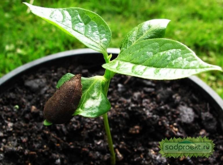 Выращивание хурмы из косточки в домашних условиях – основные правила