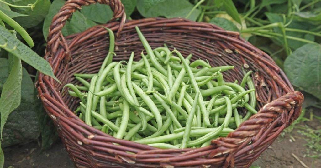 Фасоль: посадка и уход в открытом грунте, выращивание из семян