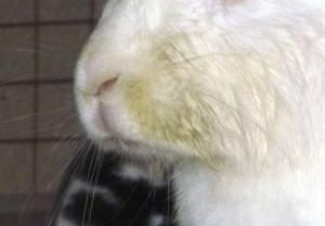 Особенности проявления ринита (насморка) у кроликов, способы лечения