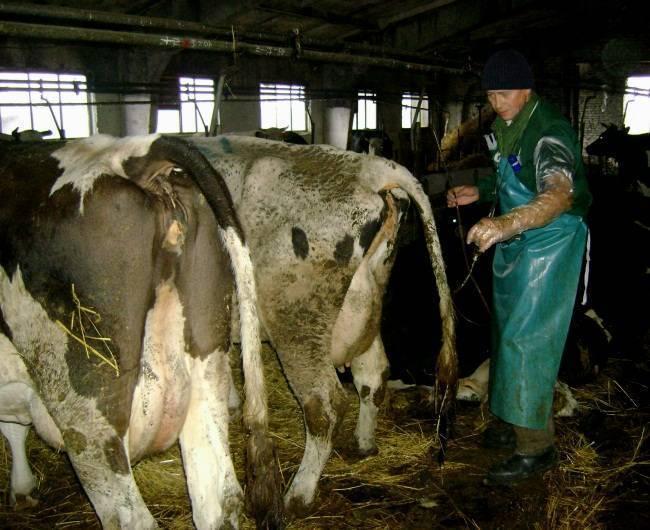 Послеродовой эндометрит у коровы. другое. сельское хозяйство. 2015-12-02