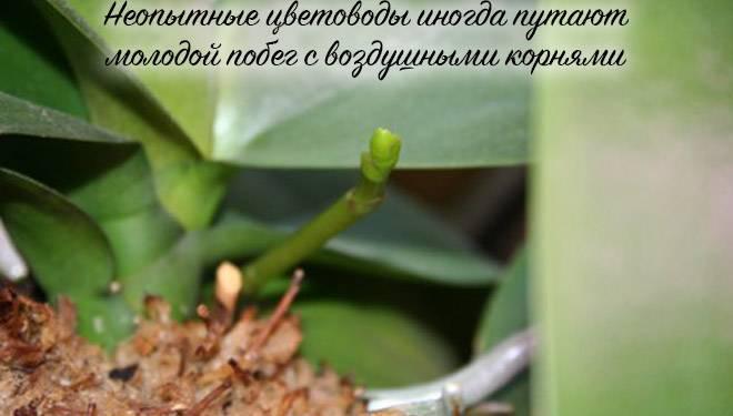 Орхидея выпустила цветонос но не цветет. основные причины, почему не цветет орхидея и не выпускает цветонос