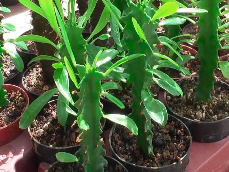Выращивание молочая дома и в открытом грунте. размножение семенами, черенками и делением куста