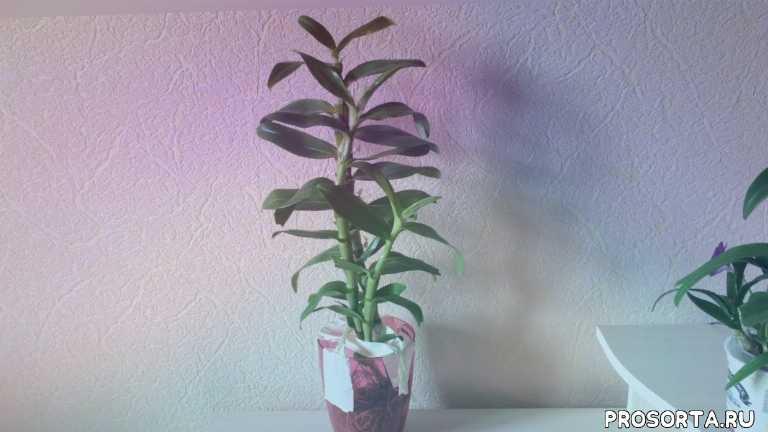 Описание и особенности орхидеи дендробиум нобиле