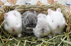 Когда можно отсаживать крольчат от крольчихи?