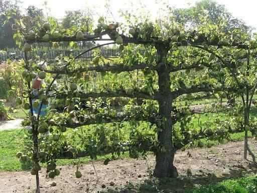 Как сажать грушу весной: пошаговая инструкция как сажать грушу весной: пошаговая инструкция