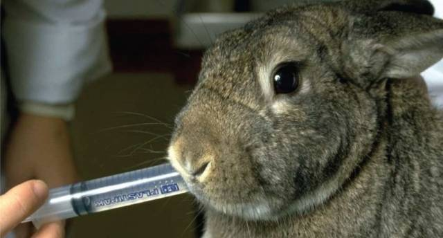 Стоматит или мокрица у кроликов: что делать и чем лечить?