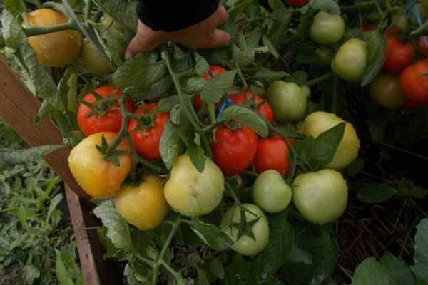 Крупноплодный томат «видимо невидимо» : описание сорта, его характеристика и фото
