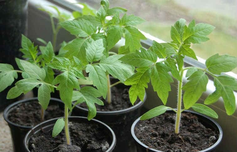 Подкормка рассады томатов и перца: народные средства и минеральные удобрения
