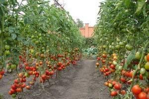 Правила посадки томатов в открытый грунт и уход за ними