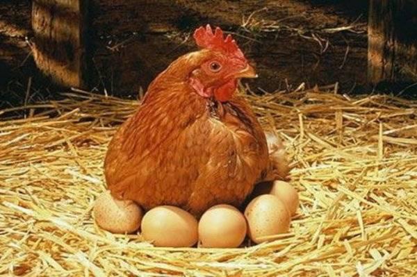 Сколько дней курица высиживает яйца: описание и фото сколько дней курица высиживает яйца: описание и фото