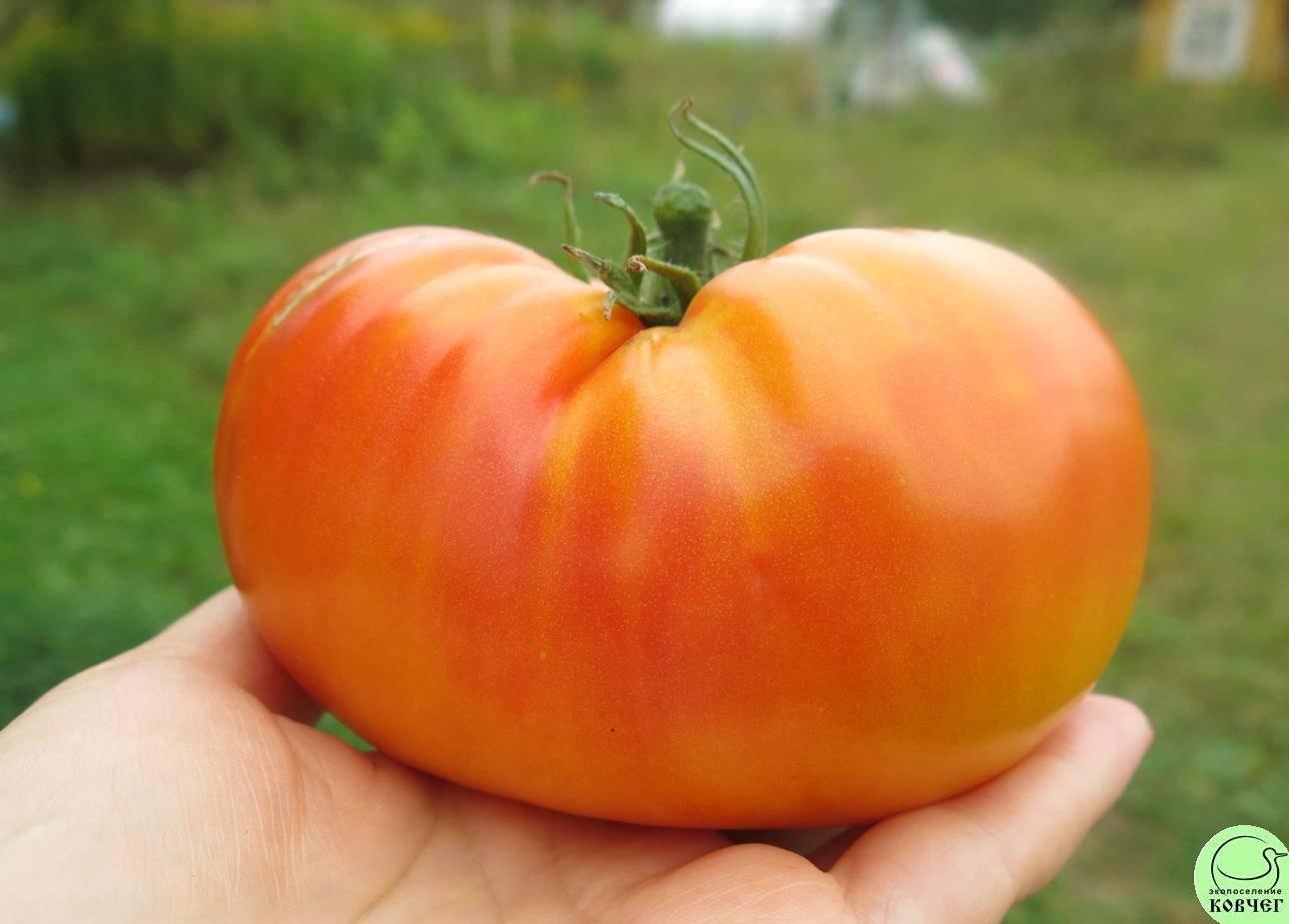 Томат медовый салют: отзывы фермеров со стажем, рекомендации по выращиванию, характеристика и описание сорта