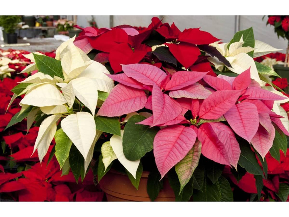 Цветок пуансетия: сорта, посадка и уход в домашних условиях после покупки, как и когда обрезать, пересадка и размножение, фото