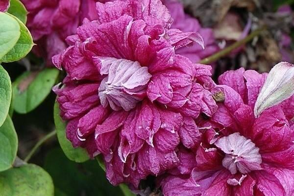 Клематис пурпуреа плена элеганс: фото и описание сорта