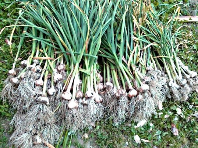 Удобрение для чеснока, виды удобрений, сроки внесения