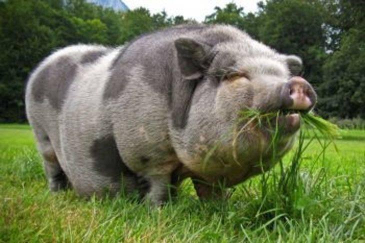 Муромская порода свиней - описание, характеристика породы, фото | россельхоз.рф