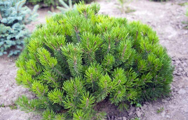 Горная сосна пумилио: особенности посадки, ухода и применения в ландшафтном дизайне