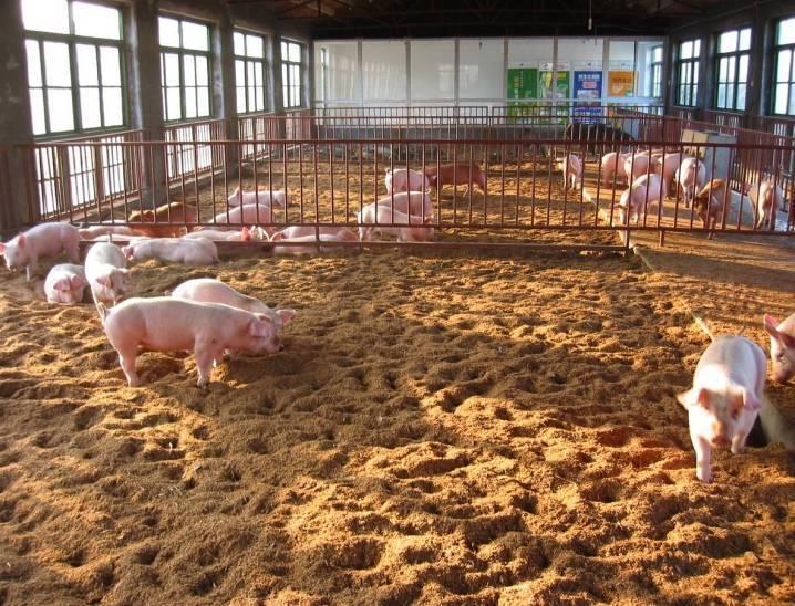Подстилка для свиней с бактериями: плюсы и минусы, отзывы
